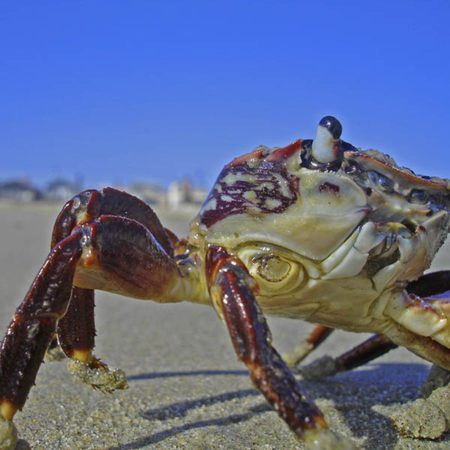Crab's eye sticks up as ever vigilant